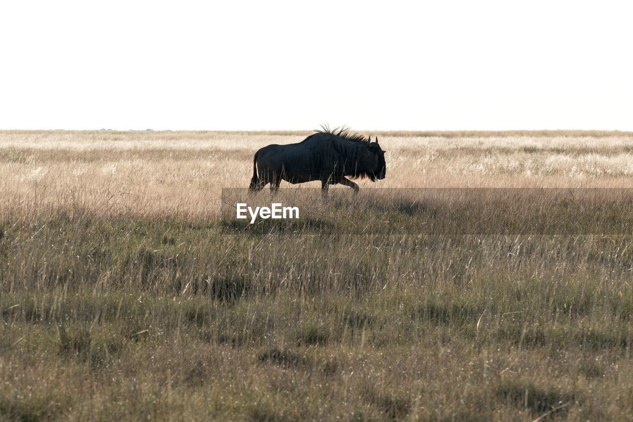 Silhouette Of Blue Wildebeest Walking On Field