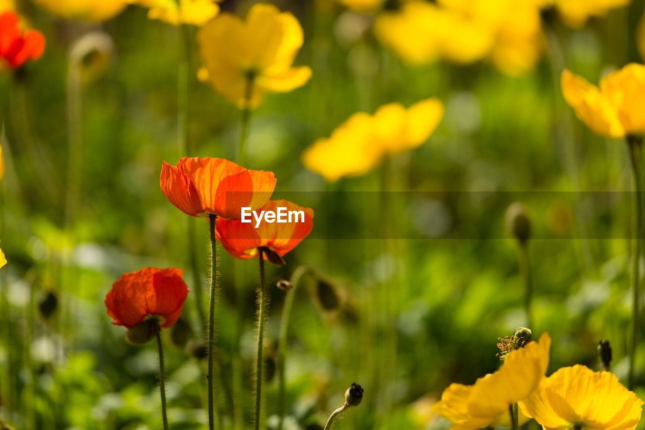 flowering plant, flower, beauty in nature, fragility, plant, vulnerability, freshness, growth, petal, close-up, inflorescence, flower head, focus on foreground, nature, poppy, plant stem, no people, day, red, field, outdoors