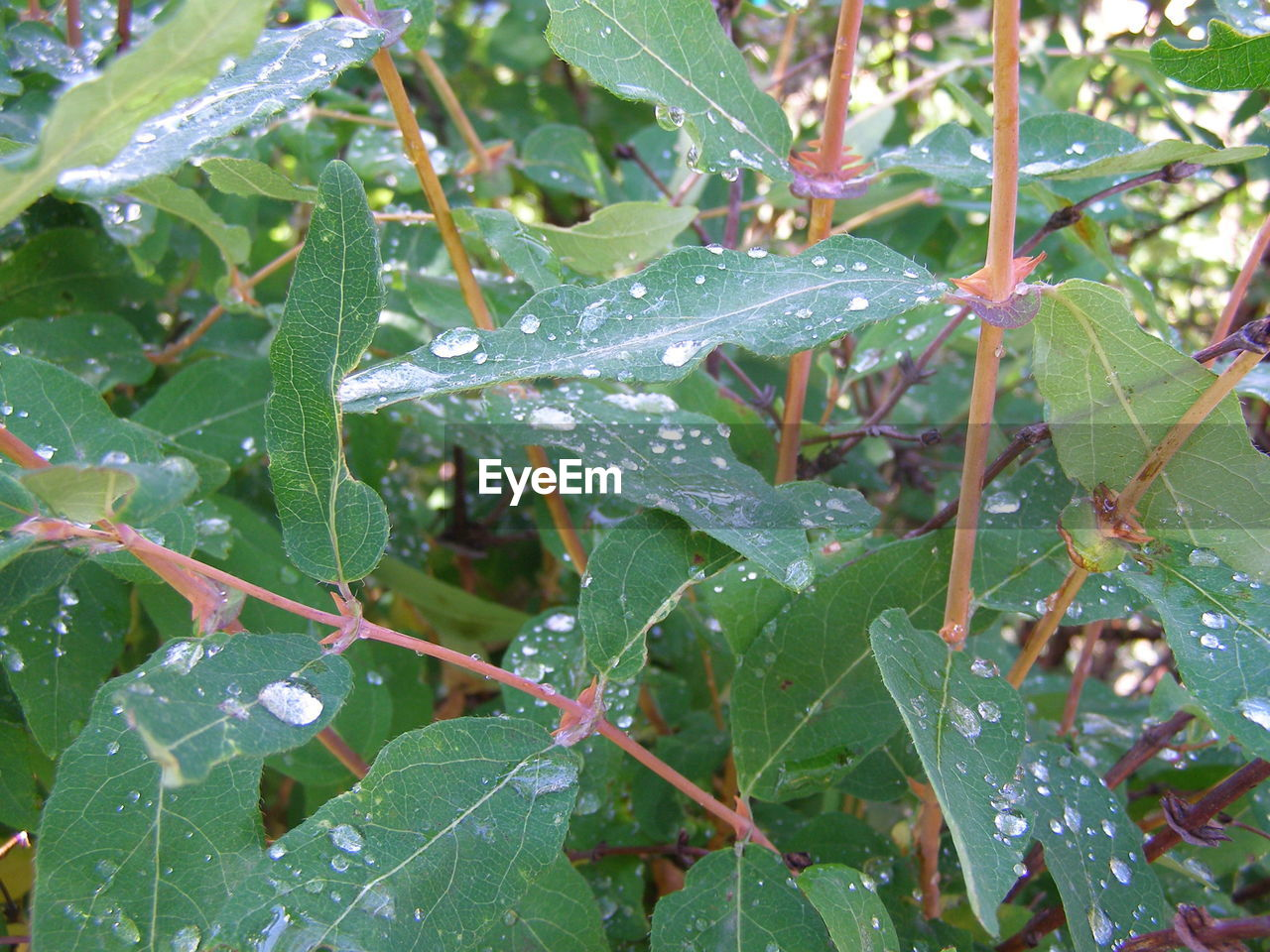 plant part, leaf, plant, growth, green color, nature, close-up, day, beauty in nature, no people, drop, water, wet, tree, outdoors, focus on foreground, tranquility, fragility, rain, raindrop, dew, leaves, purity