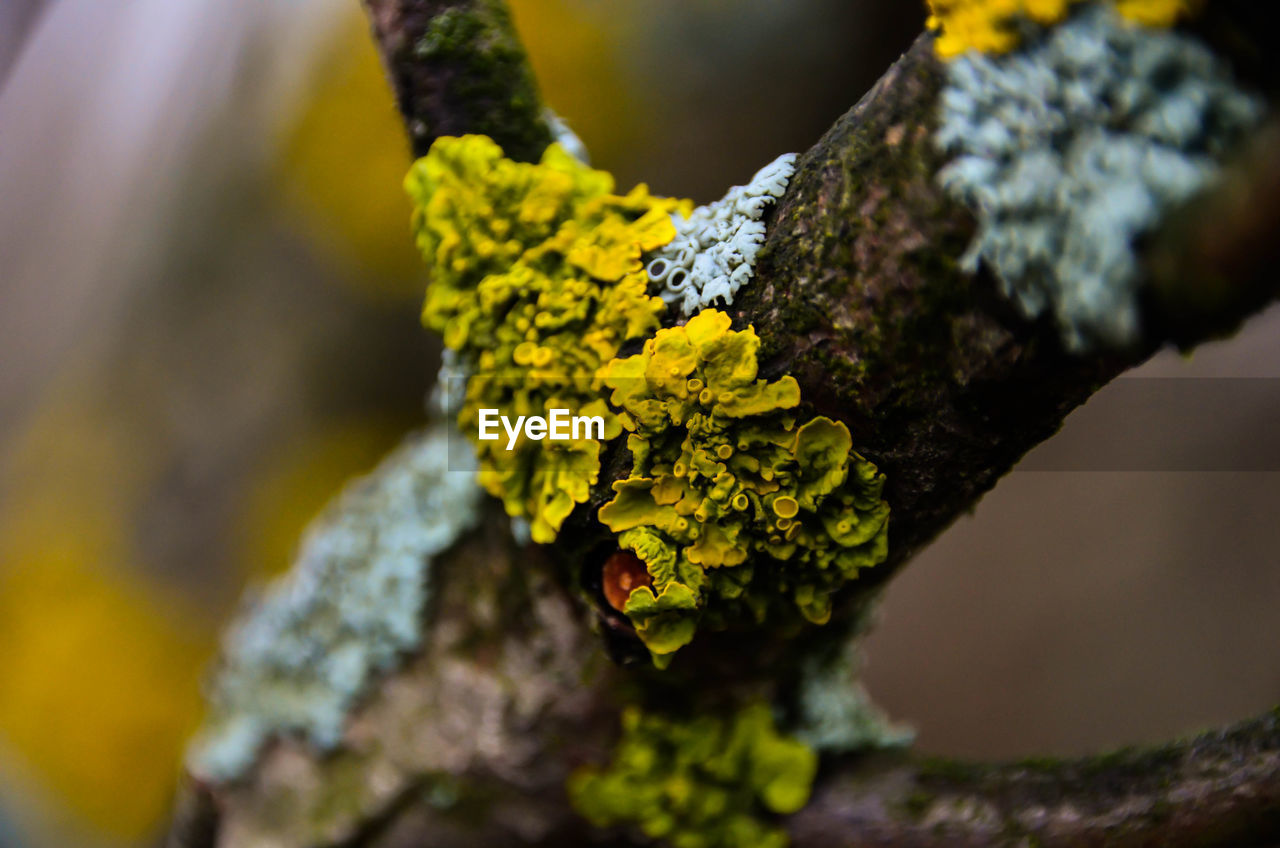growth, lichen, plant, close-up, moss, selective focus, no people, tree, nature, fungus, tree trunk, day, trunk, beauty in nature, focus on foreground, textured, yellow, branch, outdoors, rough