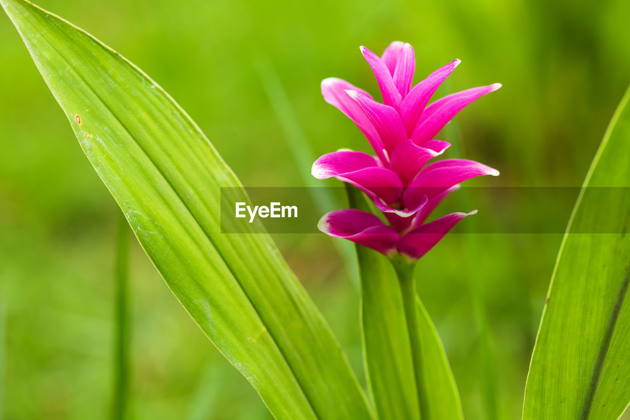 flowering plant, close-up, flower, growth, plant, beauty in nature, green color, freshness, pink color, focus on foreground, vulnerability, fragility, leaf, plant part, nature, petal, no people, inflorescence, day, flower head, outdoors