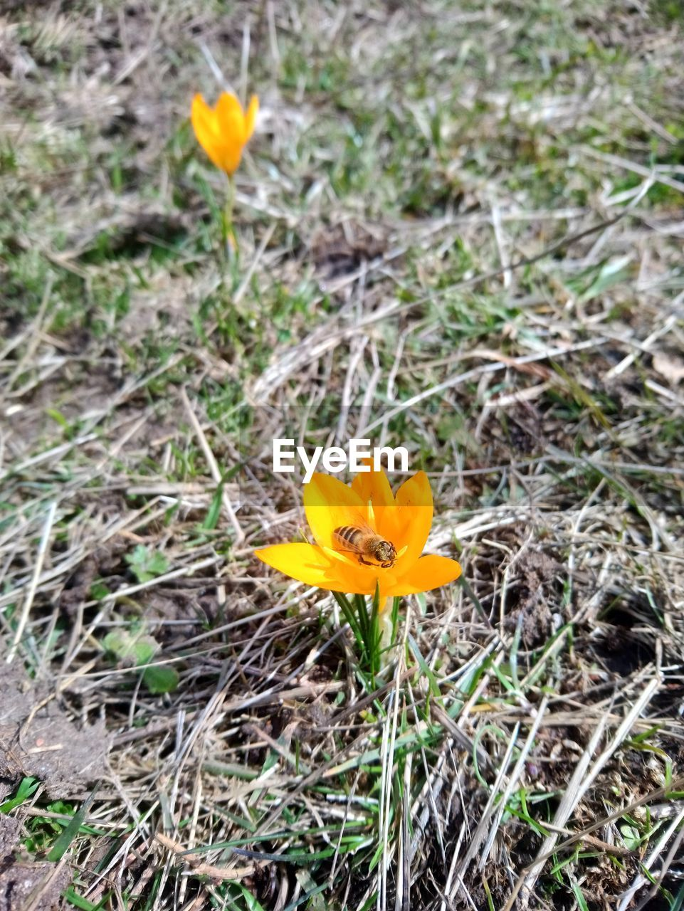 flower, petal, growth, fragility, flower head, yellow, plant, nature, blooming, field, freshness, beauty in nature, no people, outdoors, day, close-up, crocus, grass
