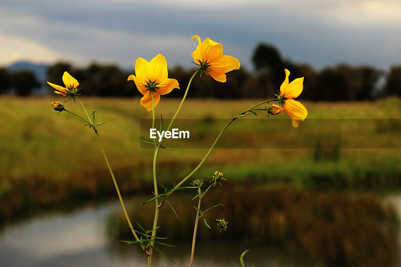 flowering plant, plant, flower, growth, fragility, beauty in nature, freshness, vulnerability, yellow, nature, focus on foreground, land, field, close-up, flower head, petal, day, plant stem, inflorescence, no people, outdoors, sepal