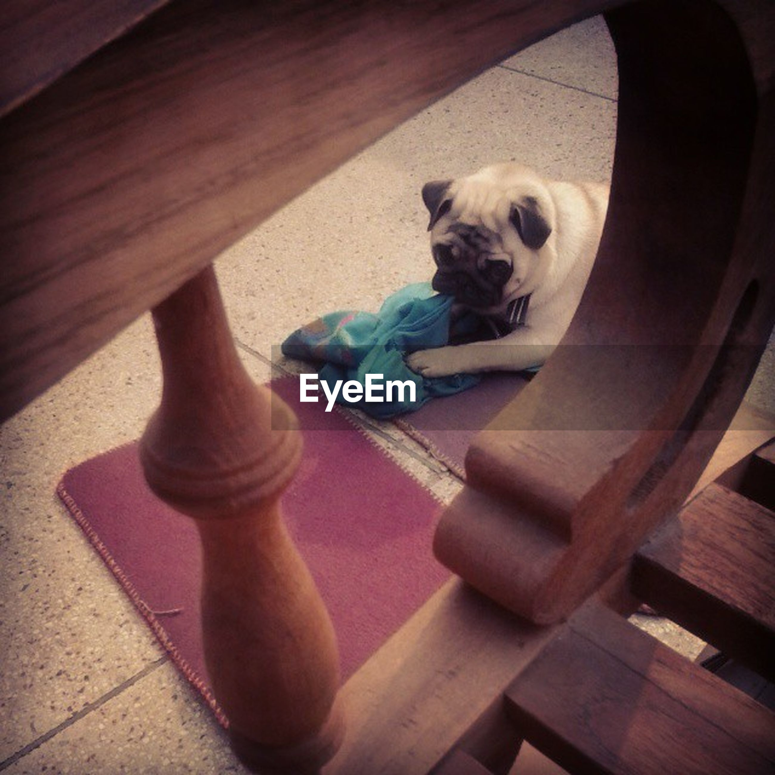 indoors, wood - material, high angle view, pets, dog, domestic animals, one animal, wooden, sitting, animal themes, hardwood floor, mammal, flooring, wood, toy, relaxation, table, full length, day, no people