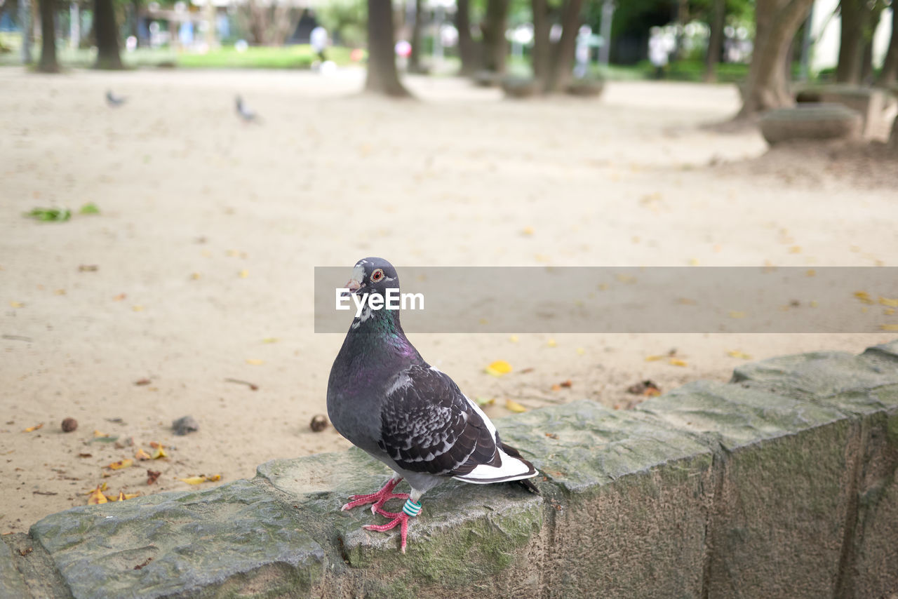 bird, animal themes, animal, vertebrate, animals in the wild, animal wildlife, one animal, focus on foreground, day, pigeon, nature, no people, perching, land, outdoors, looking away, black color, looking, footpath, close-up