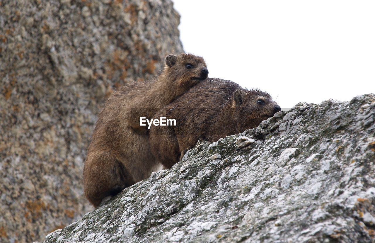 Rock hyraxes mating on rocks against sky