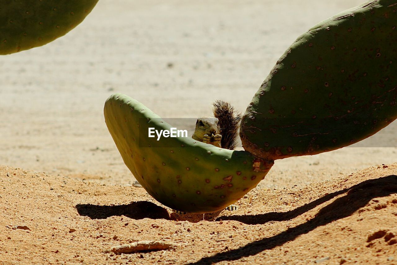sunlight, green color, focus on foreground, no people, close-up, fruit, food, cactus, day, food and drink, nature, growth, outdoors, freshness, beauty in nature, healthy eating, prickly pear cactus