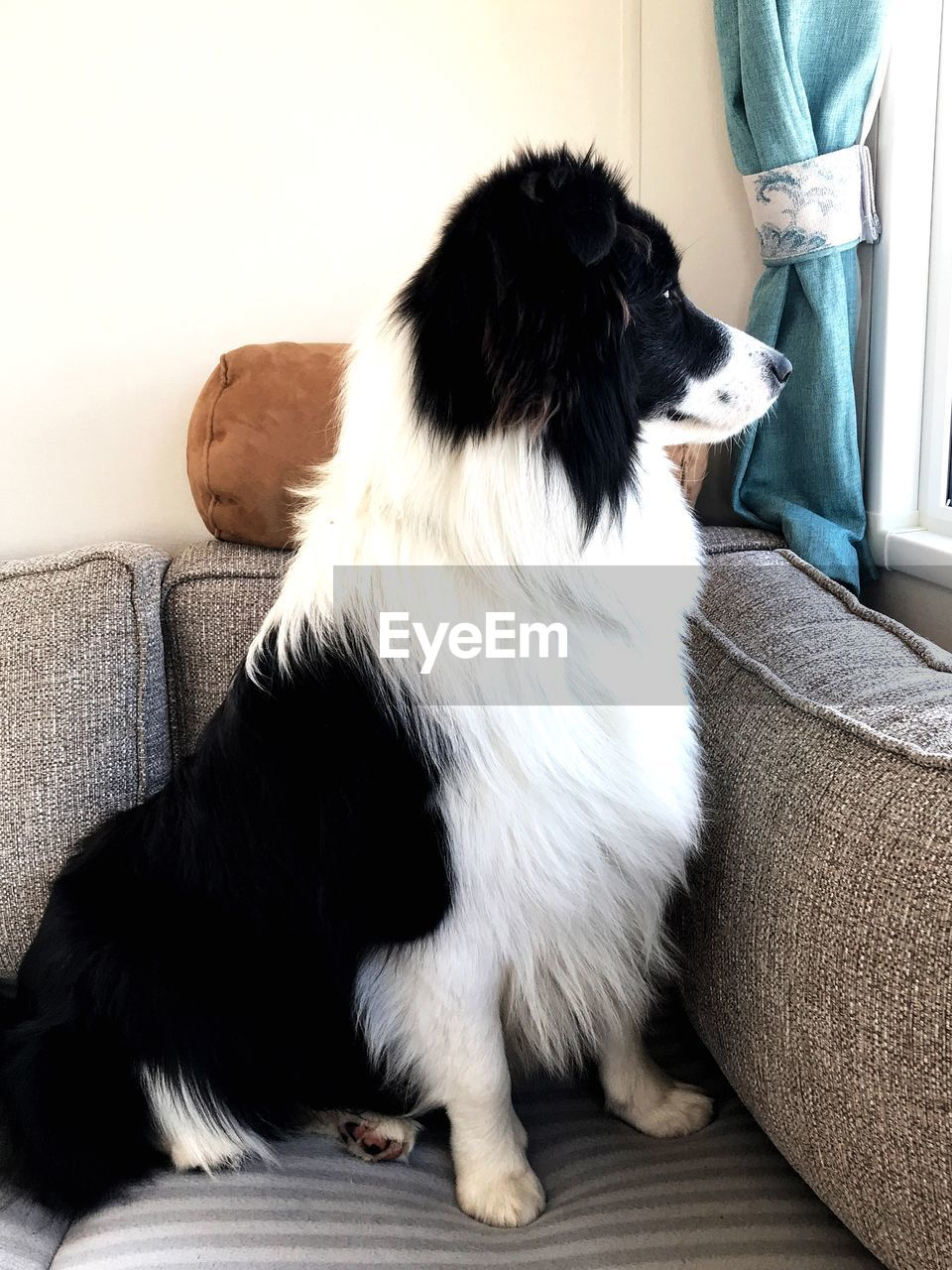 domestic, one animal, pets, domestic animals, animal themes, mammal, animal, vertebrate, sofa, indoors, furniture, home interior, canine, sitting, dog, relaxation, no people, day, living room, pillow