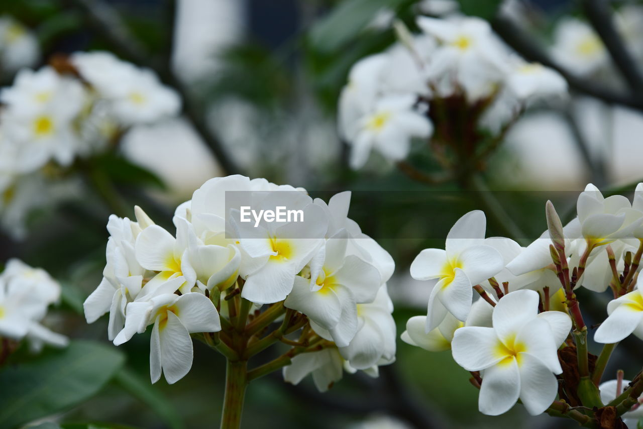 flowering plant, flower, plant, fragility, vulnerability, beauty in nature, petal, close-up, flower head, growth, freshness, inflorescence, white color, focus on foreground, nature, day, no people, outdoors, botany, park, pollen