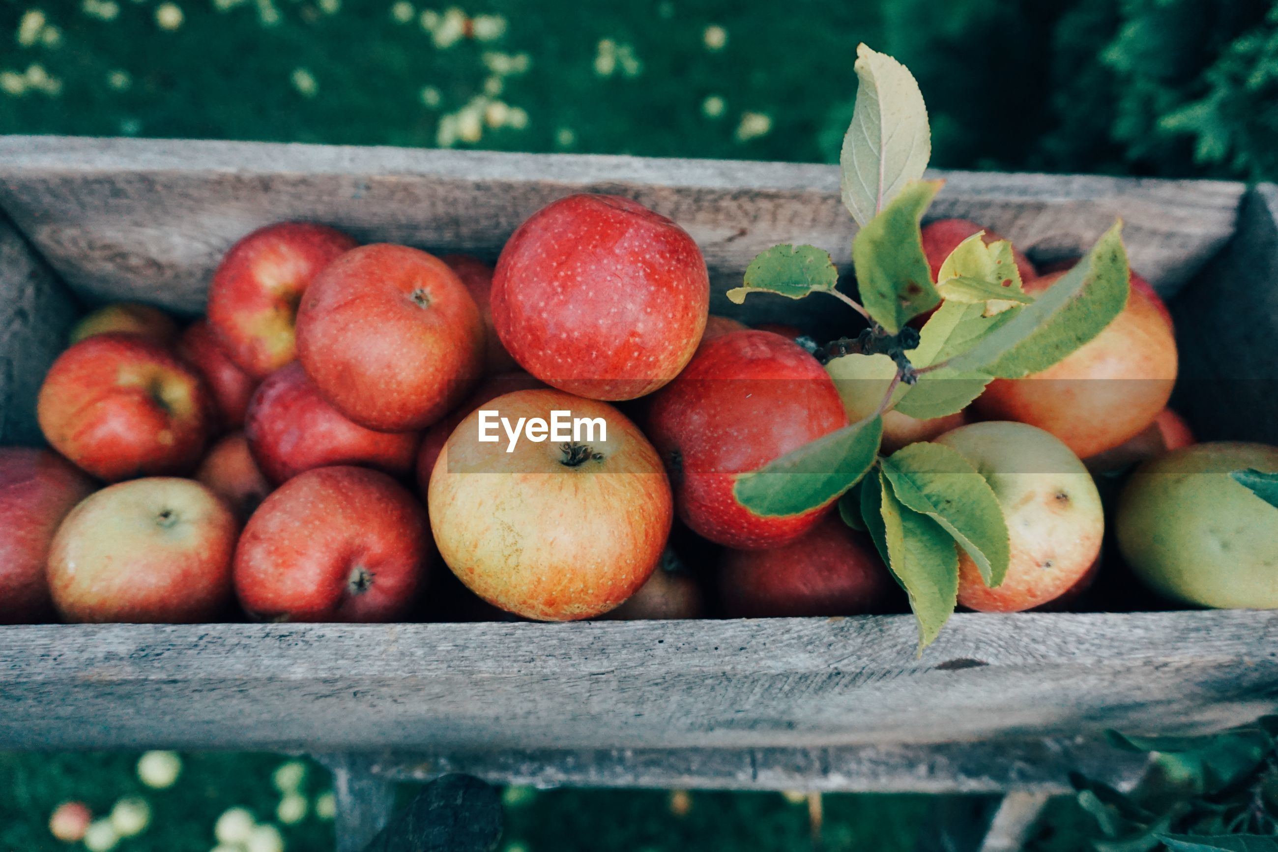 High angle view of apples in wooden container at orchard