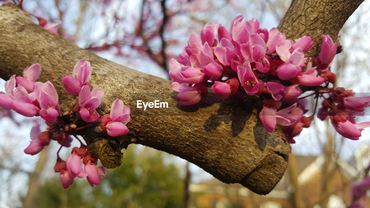 flower, flowering plant, pink color, plant, freshness, fragility, vulnerability, beauty in nature, close-up, focus on foreground, tree, petal, growth, nature, no people, branch, day, outdoors, inflorescence, flower head, springtime, pollen, cherry blossom, cherry tree