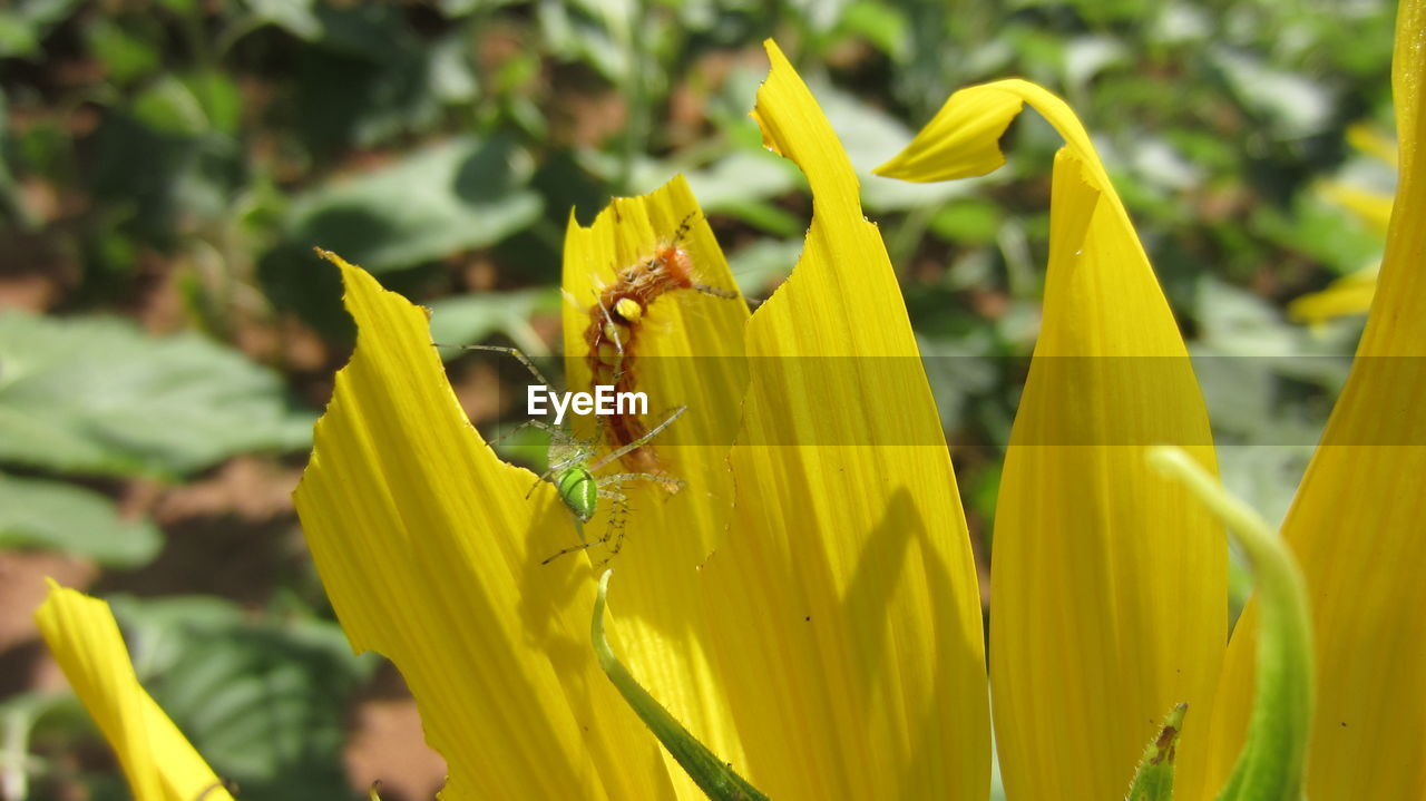 yellow, flower, growth, fragility, plant, petal, nature, beauty in nature, freshness, outdoors, green color, day, no people, close-up, flower head, blooming, day lily