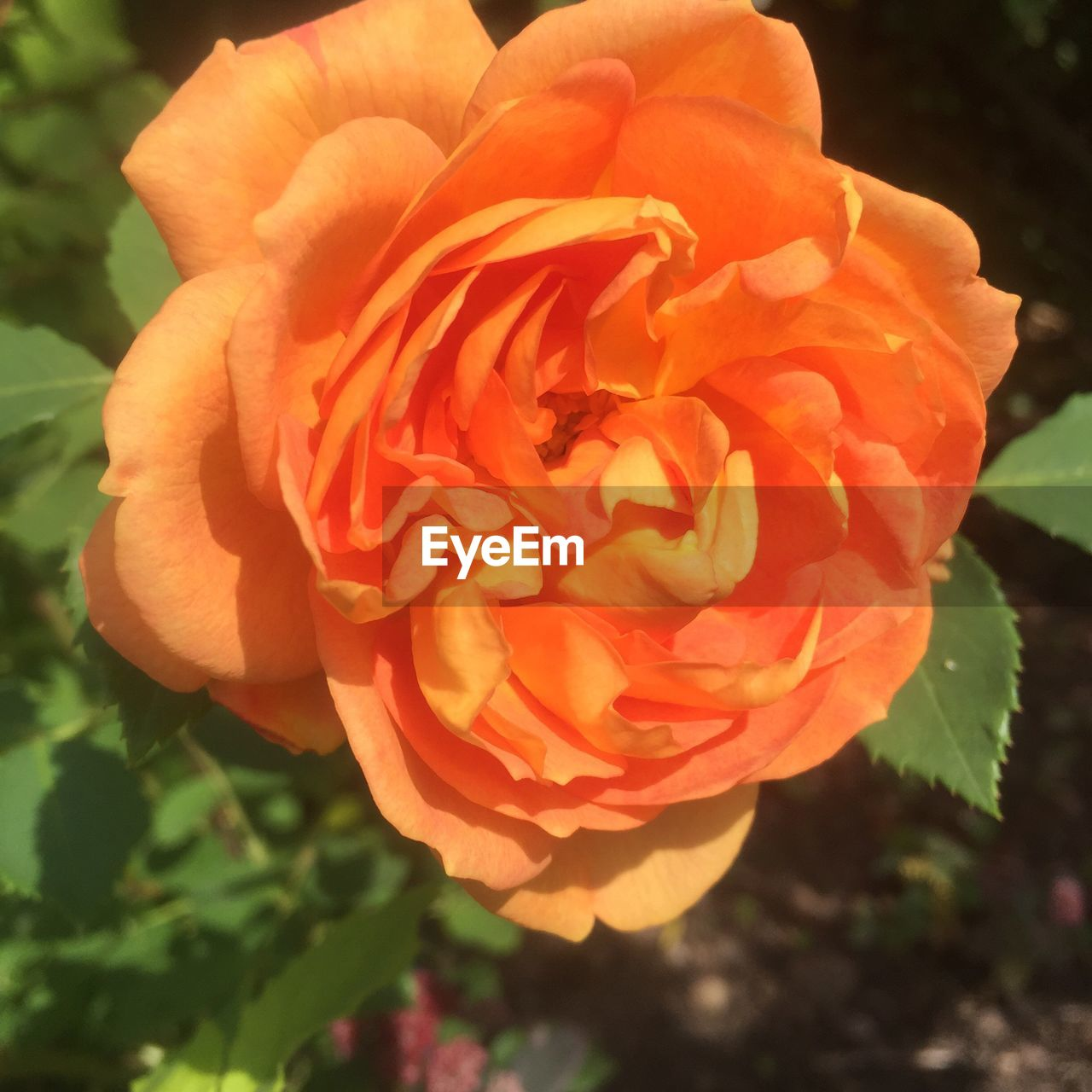 flower, petal, nature, beauty in nature, flower head, fragility, freshness, plant, growth, outdoors, blooming, close-up, no people, focus on foreground, rose - flower, day