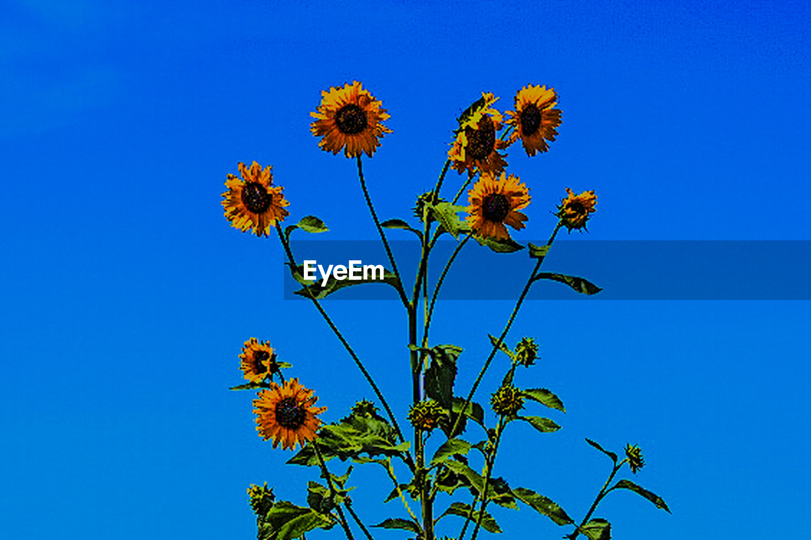 LOW ANGLE VIEW OF YELLOW FLOWERS BLOOMING AGAINST CLEAR BLUE SKY