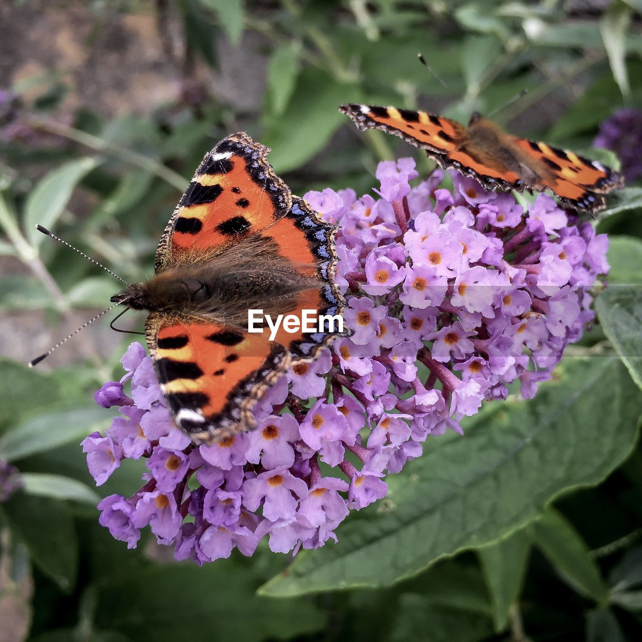 flower, insect, one animal, purple, beauty in nature, nature, animals in the wild, animal themes, fragility, freshness, butterfly - insect, close-up, outdoors, no people, day, growth, plant, focus on foreground, pollination, petal, animal wildlife, flower head, perching
