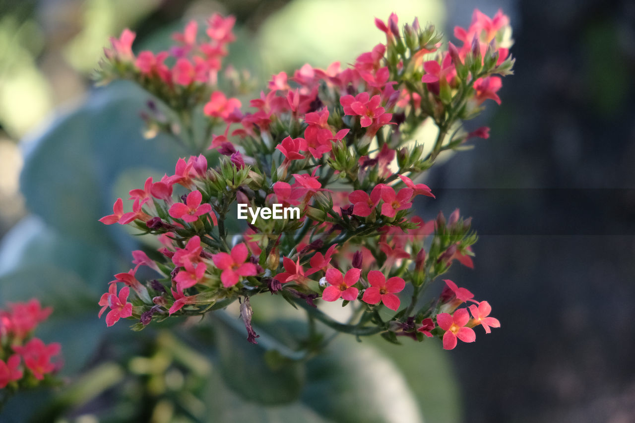 flowering plant, flower, plant, growth, beauty in nature, freshness, focus on foreground, close-up, fragility, vulnerability, plant part, petal, day, nature, flower head, leaf, selective focus, inflorescence, pink color, red, outdoors, no people, bunch of flowers
