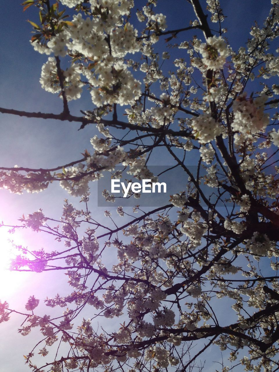 tree, branch, flower, blossom, beauty in nature, growth, fragility, low angle view, nature, cherry blossom, springtime, apple blossom, cherry tree, apple tree, freshness, orchard, no people, botany, day, twig, outdoors, petal, sky, blooming, close-up, flower head