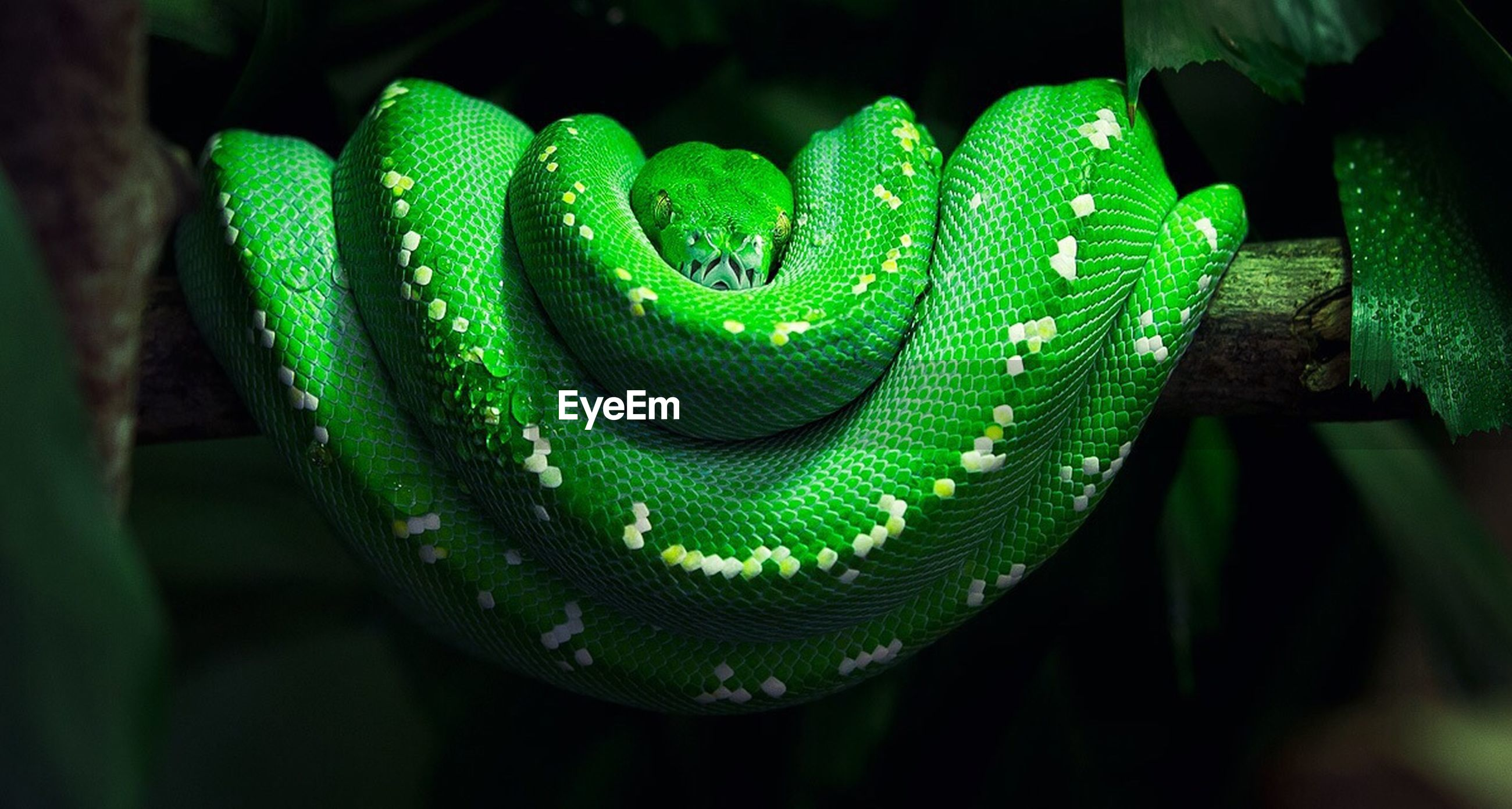 Close-up of a snake against black background