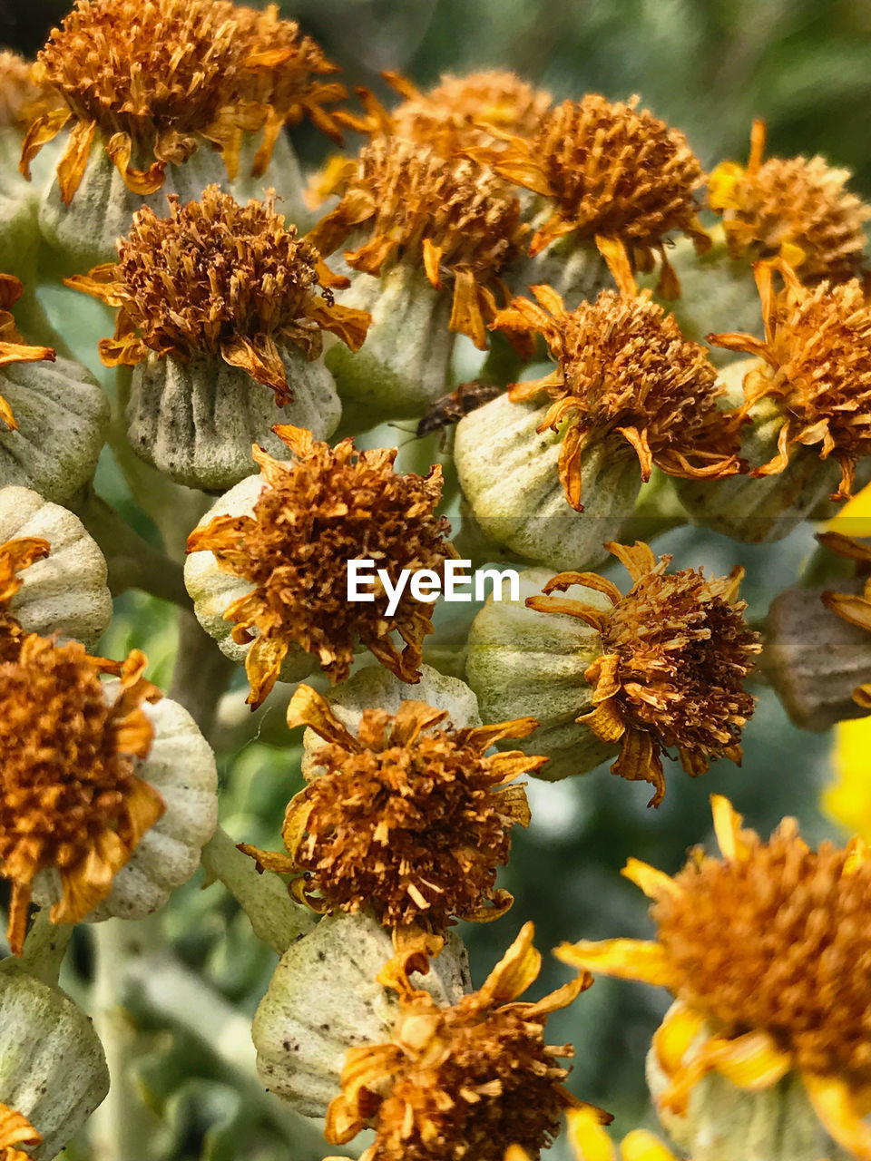 plant, close-up, vulnerability, fragility, flower, growth, flowering plant, beauty in nature, focus on foreground, selective focus, no people, nature, day, flower head, inflorescence, freshness, outdoors, petal, tranquility, orange color, wilted plant, natural condition