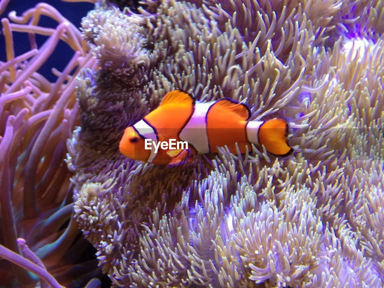 clown fish, underwater, undersea, animal themes, sea life, coral, sea anemone, symbiotic relationship, animals in the wild, animal wildlife, sea, one animal, no people, fish, nature, swimming, beauty in nature, outdoors, day