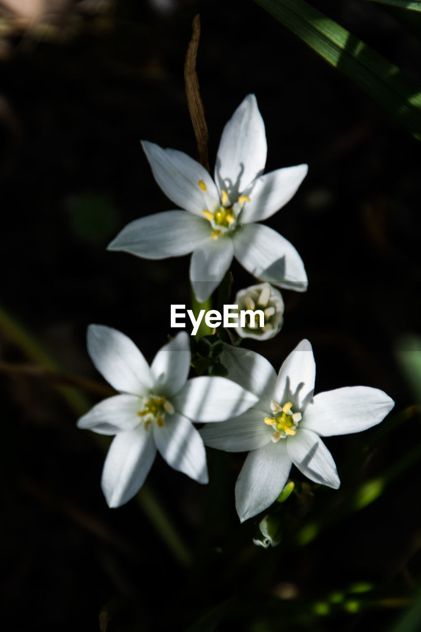 flowering plant, flower, fragility, plant, freshness, vulnerability, petal, beauty in nature, growth, inflorescence, flower head, white color, close-up, nature, no people, pollen, day, outdoors, focus on foreground, blossom