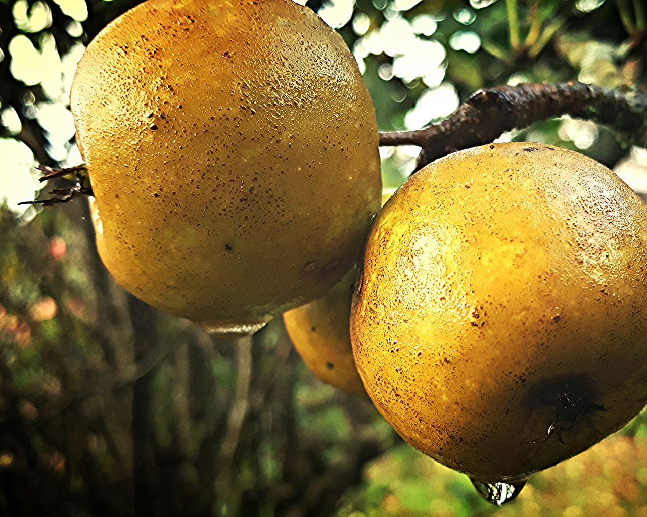 fruit, food and drink, tree, citrus fruit, close-up, no people, food, outdoors, growth, yellow, healthy eating, freshness, focus on foreground, hanging, day, nature, beauty in nature