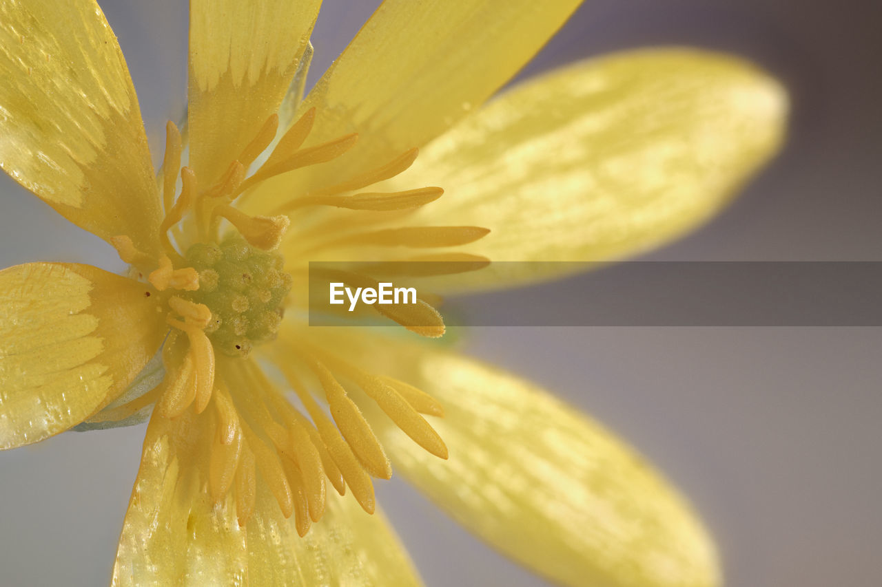 flower, flowering plant, vulnerability, petal, fragility, yellow, freshness, close-up, beauty in nature, flower head, inflorescence, plant, growth, no people, pollen, nature, focus on foreground, selective focus, stamen