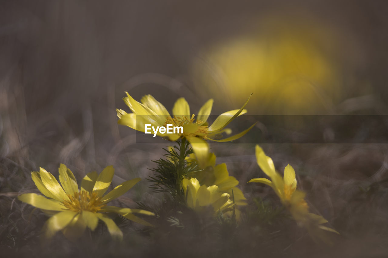 flower, flowering plant, plant, fragility, growth, vulnerability, freshness, beauty in nature, yellow, selective focus, close-up, flower head, petal, nature, inflorescence, no people, day, outdoors, field, land