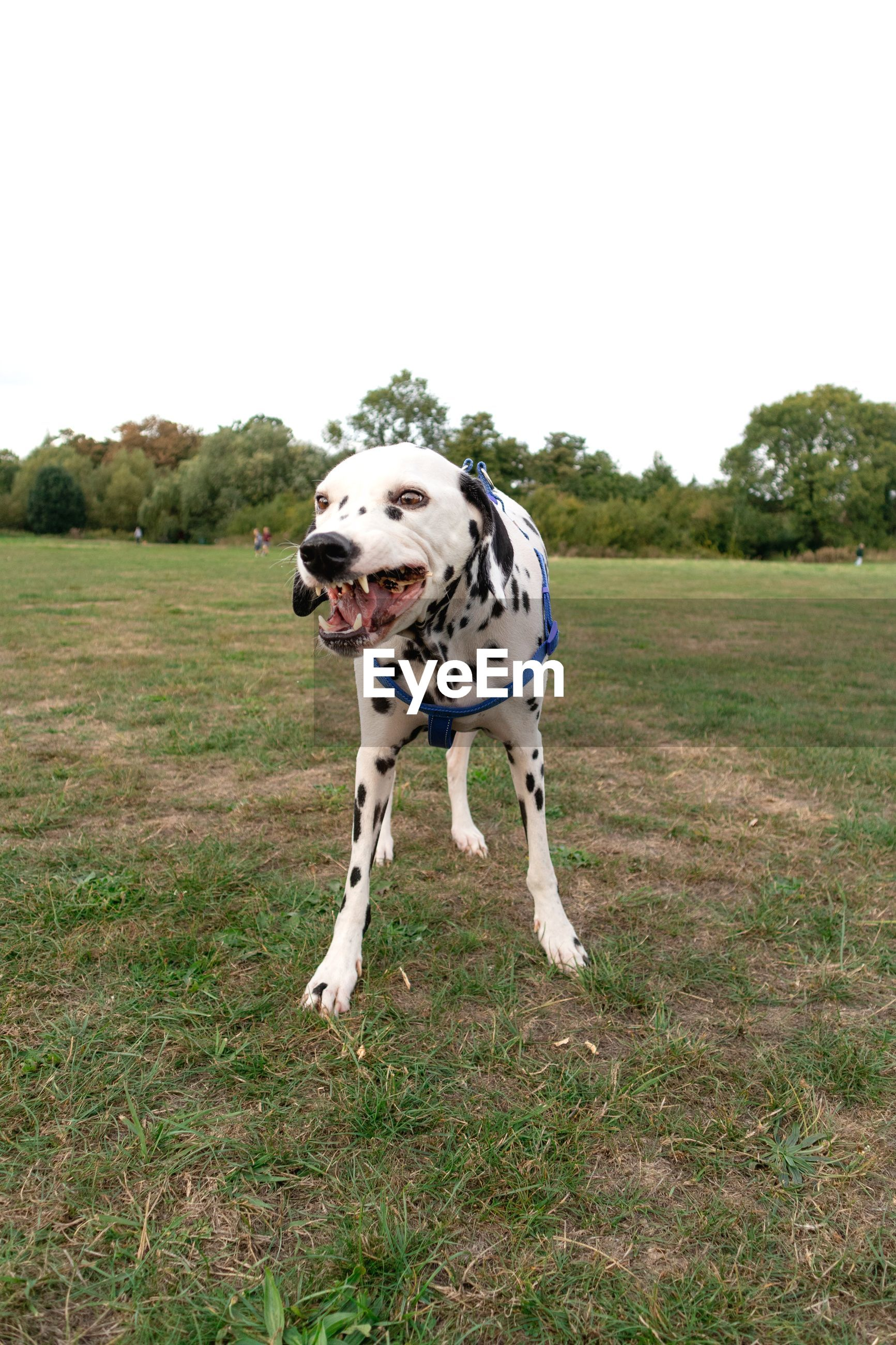Dalmatian dog standing on field