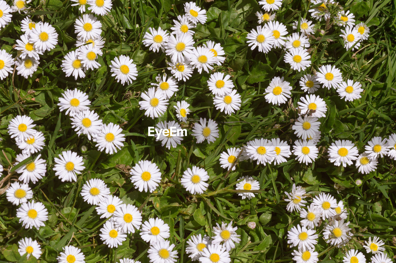 flower, petal, fragility, flower head, beauty in nature, nature, growth, freshness, plant, daisy, backgrounds, blooming, day, high angle view, no people, field, outdoors, full frame, osteospermum, black-eyed susan, close-up