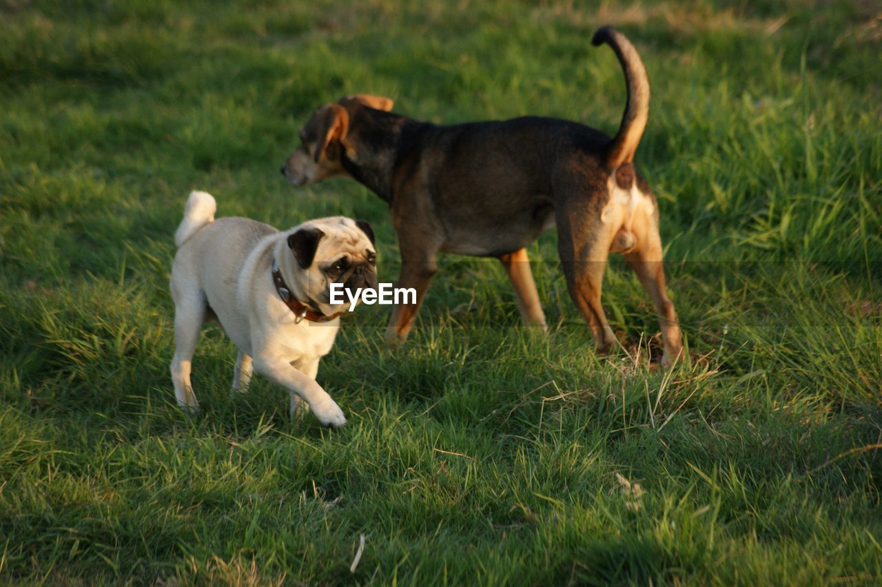 dog, canine, mammal, domestic animals, domestic, pets, animal, animal themes, grass, group of animals, vertebrate, plant, field, two animals, land, nature, no people, running, motion, small