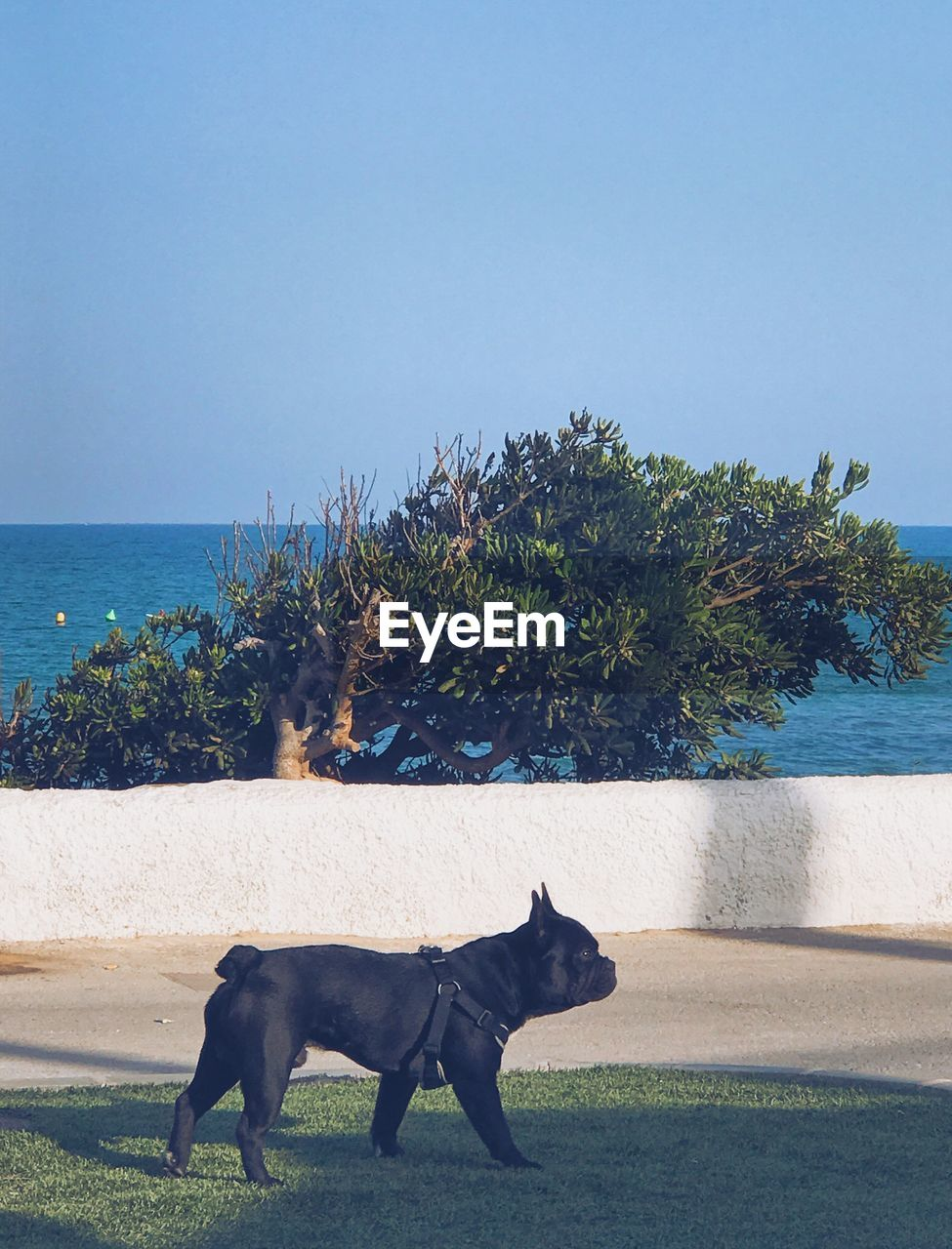 Side view of boston terrier on grassy field against sea