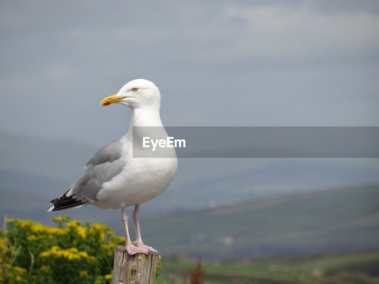 animal themes, animal, animal wildlife, one animal, vertebrate, animals in the wild, bird, focus on foreground, seagull, perching, day, no people, nature, sea bird, close-up, outdoors, beauty in nature, sky, wood - material, white color, wooden post