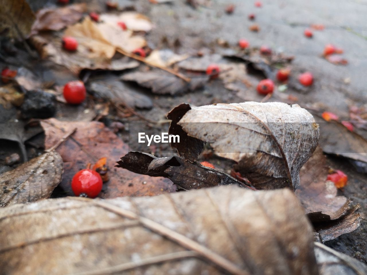 plant part, leaf, nature, dry, close-up, no people, food, day, selective focus, food and drink, healthy eating, plant, outdoors, high angle view, autumn, beauty in nature, red, falling, fruit, leaves, change