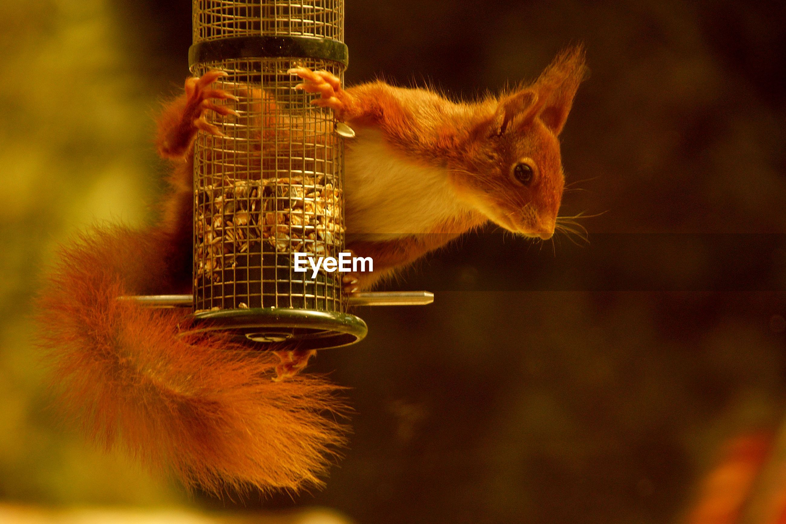 Close-up of squirrel on bird feeder
