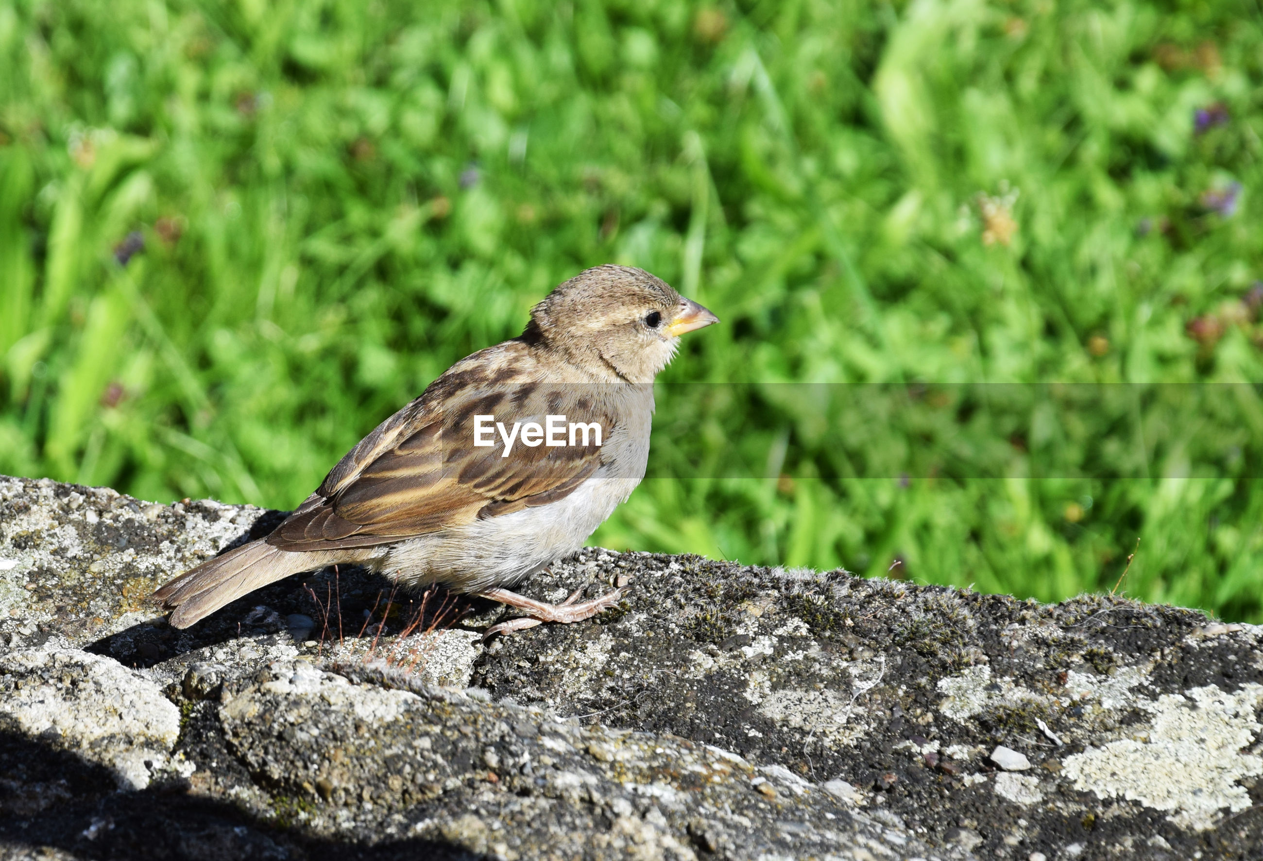 CLOSE-UP OF SPARROW PERCHING ON STONE