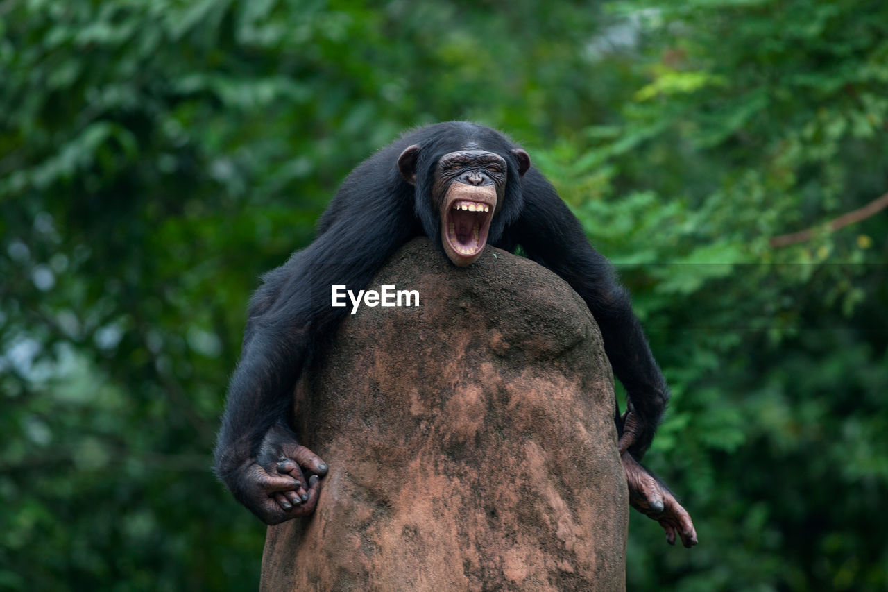 Angry Chimpanzee On Rock At Zoo