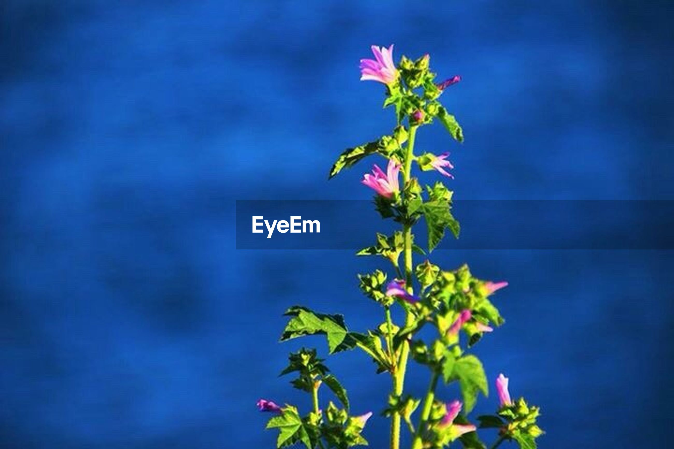 flower, freshness, growth, fragility, petal, beauty in nature, flower head, plant, nature, leaf, stem, bud, close-up, blooming, focus on foreground, in bloom, pink color, blossom, green color, botany