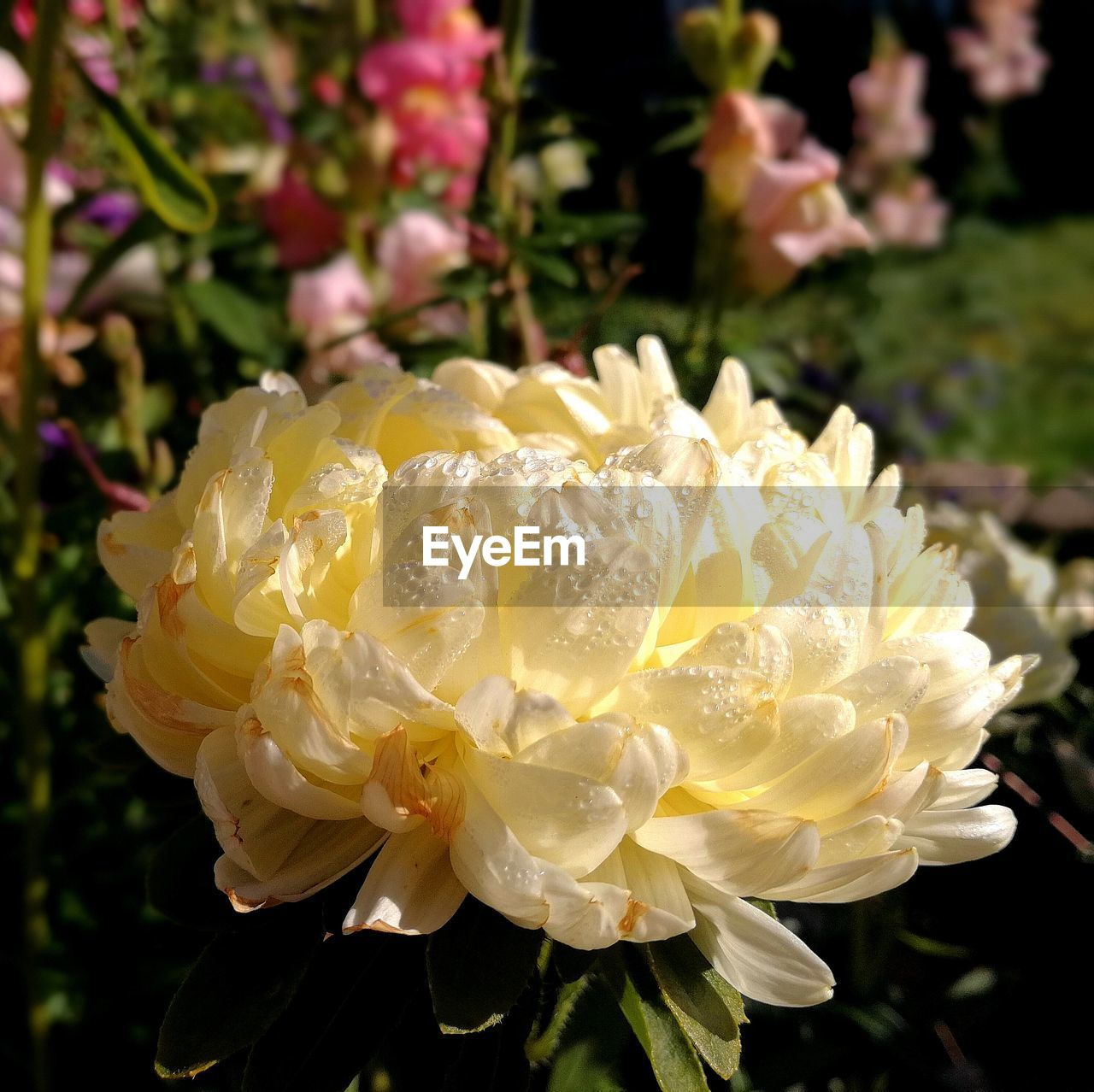 flower, petal, fragility, beauty in nature, flower head, freshness, nature, plant, outdoors, growth, close-up, white color, blooming, day, yellow, focus on foreground, no people, rose - flower, sunlight