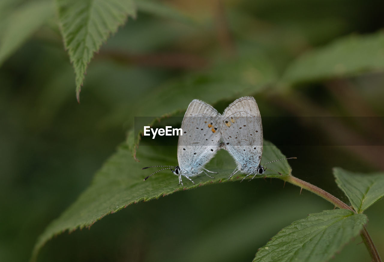 leaf, plant part, plant, invertebrate, green color, insect, close-up, beauty in nature, growth, no people, nature, animals in the wild, day, animal, animal themes, selective focus, one animal, animal wildlife, animal wing, focus on foreground, outdoors, butterfly - insect, butterfly