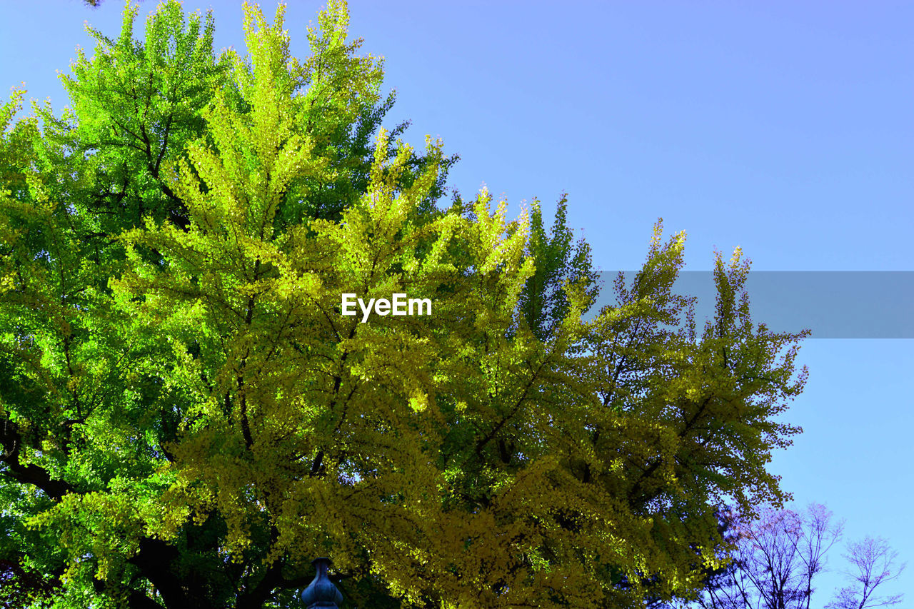 plant, tree, growth, sky, green color, low angle view, beauty in nature, clear sky, tranquility, day, no people, nature, outdoors, sunlight, tranquil scene, blue, branch, scenics - nature, non-urban scene, green