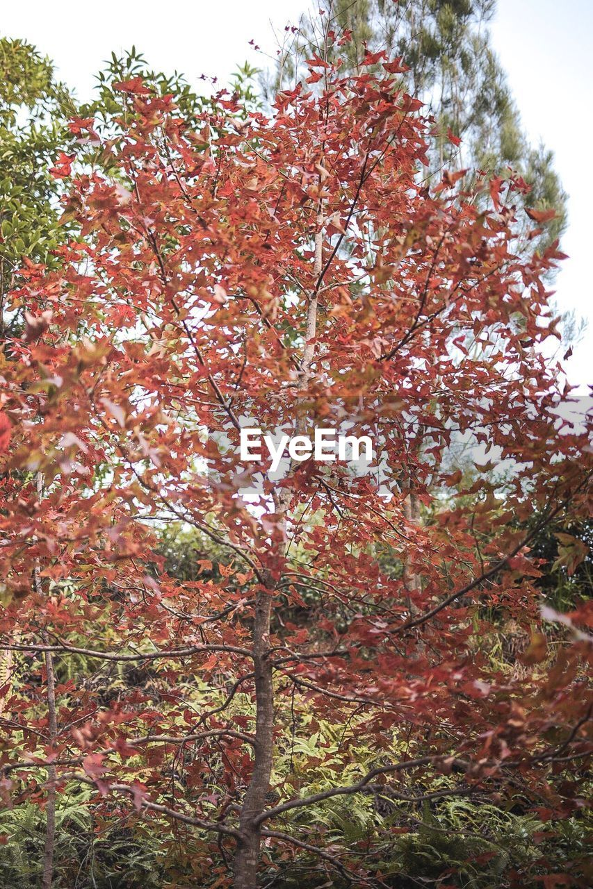 autumn, tree, nature, growth, low angle view, beauty in nature, branch, leaf, change, day, outdoors, no people, tranquility, scenics, sky