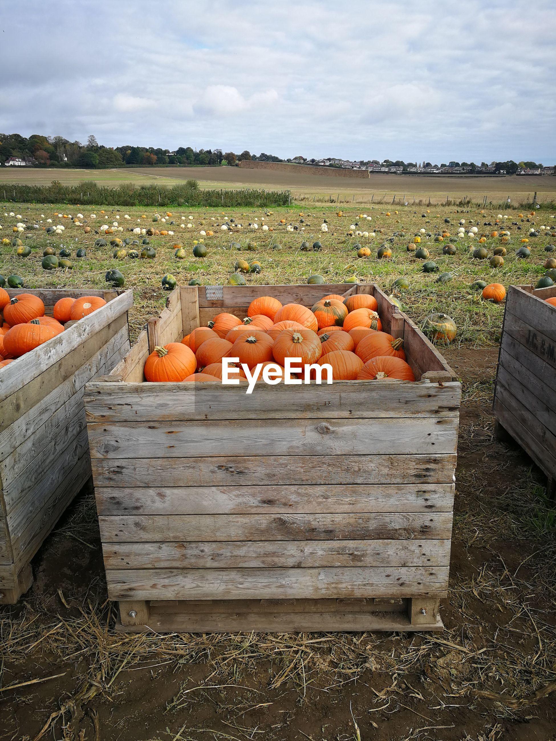 Pumpkins in crate at farm against sky