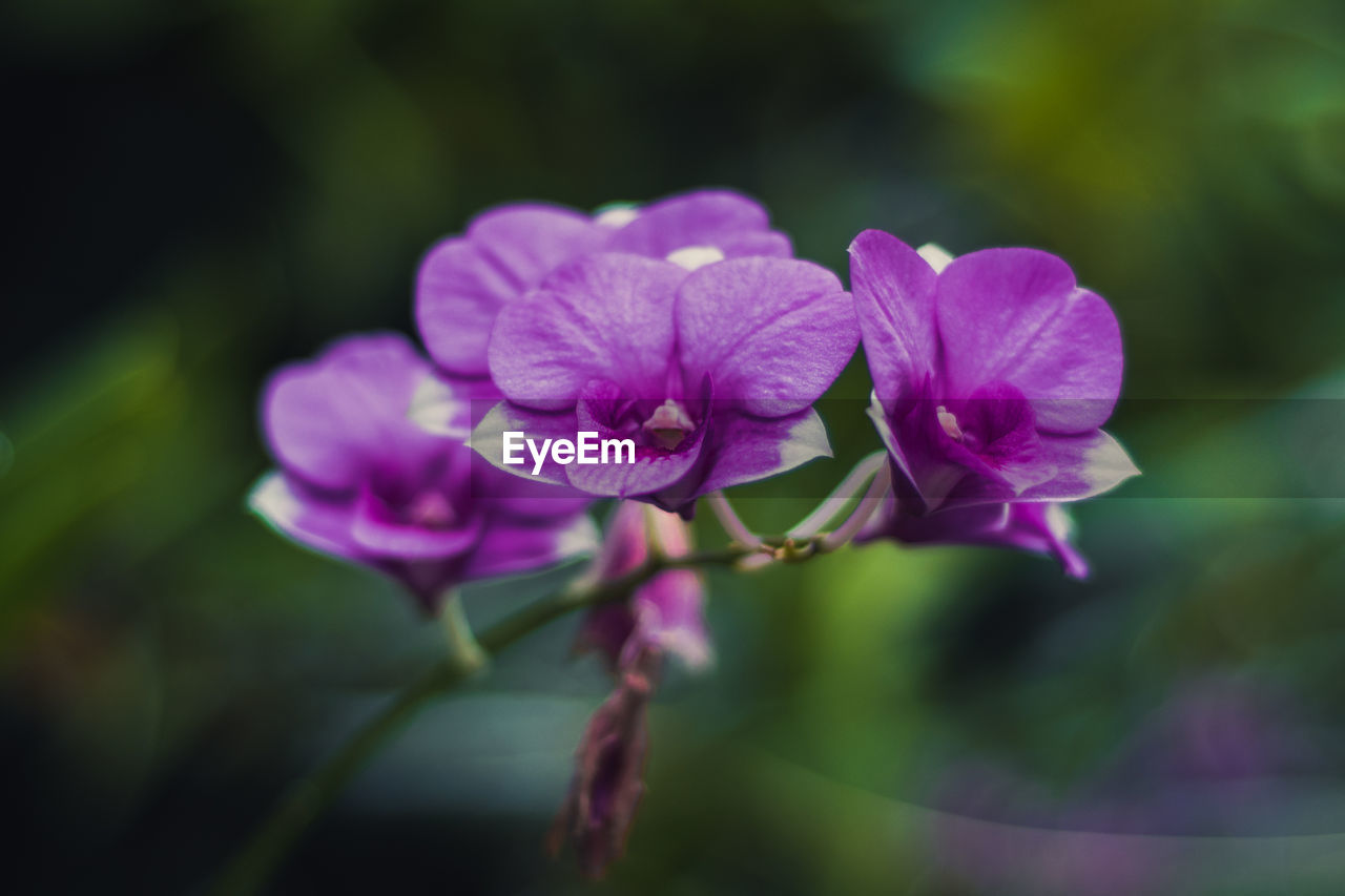 CLOSE-UP OF PURPLE FLOWERS BLOOMING