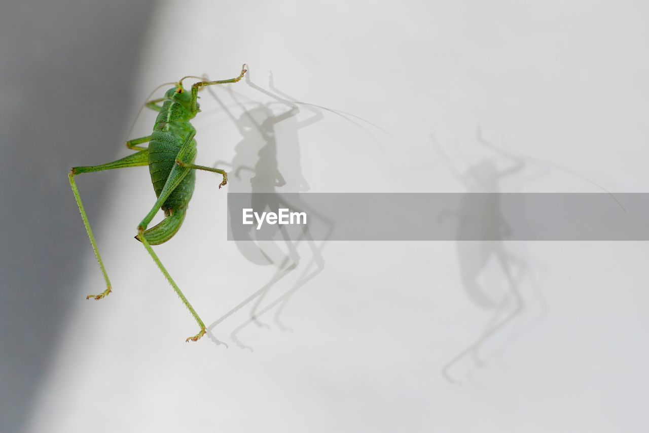 Grasshopper With Shadows On White Wall