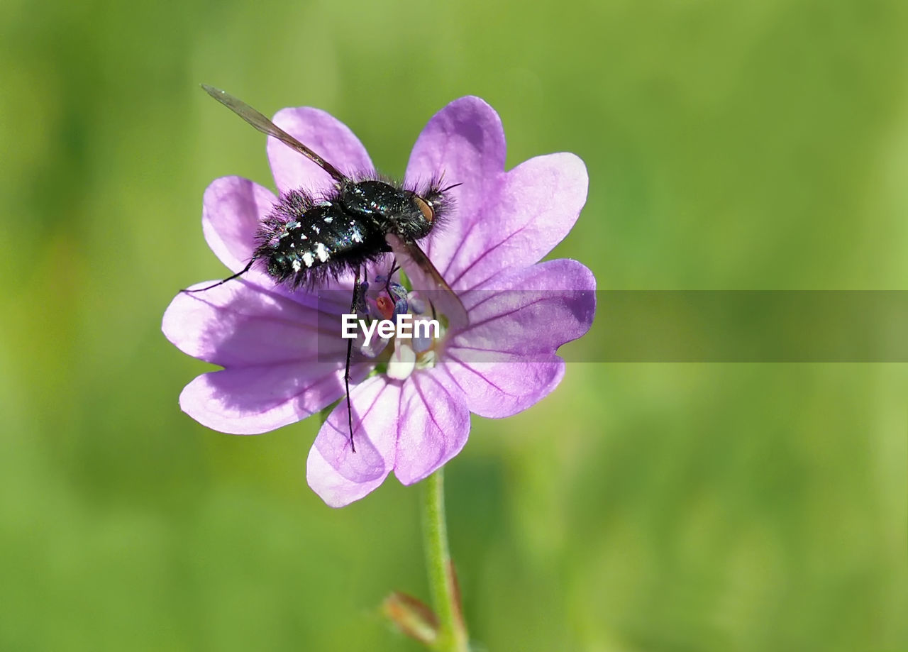 flower, flowering plant, invertebrate, insect, beauty in nature, plant, animal themes, animal, one animal, animal wildlife, animals in the wild, fragility, vulnerability, petal, flower head, close-up, growth, freshness, inflorescence, nature, no people, animal wing, pollination, purple, pollen, outdoors