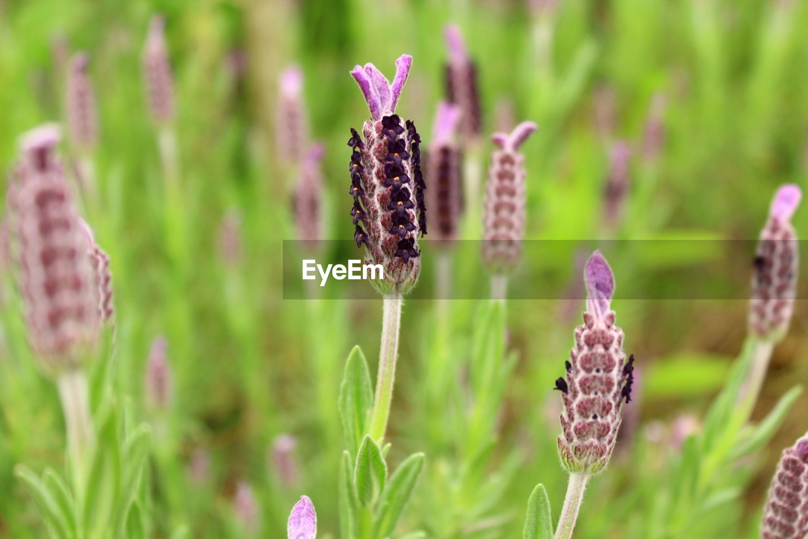 flower, growth, freshness, fragility, close-up, focus on foreground, plant, beauty in nature, nature, petal, purple, flower head, field, stem, selective focus, blooming, growing, bud, day, botany