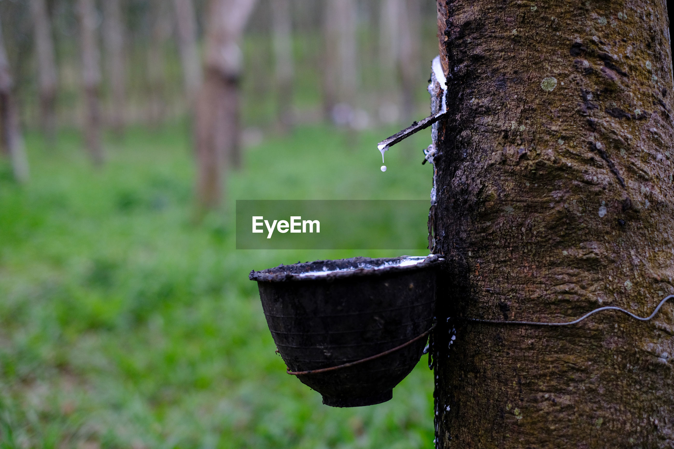 Fresh milky latex flows into a plastic bowl in from para rubber tree hevea brasiliensis