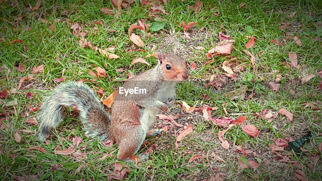 rodent, grass, one animal, field, mammal, animal themes, nature, animals in the wild, squirrel, outdoors, day, no people, close-up