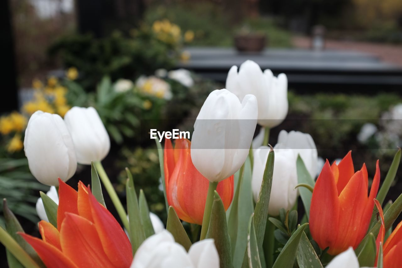flower, petal, beauty in nature, growth, fragility, freshness, nature, flower head, white color, plant, blooming, day, focus on foreground, springtime, tulip, outdoors, close-up, snowdrop, no people, flowerbed, crocus